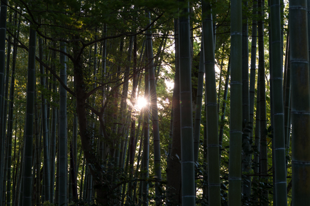 Sunlight through a Bamboo Grove