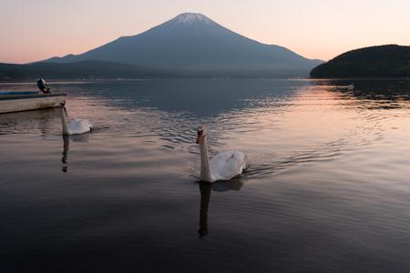 Swans Floating on Lake Yamanaka at Sunset