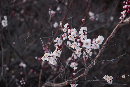 Japanese Apricot Blossoms (ume flowers)