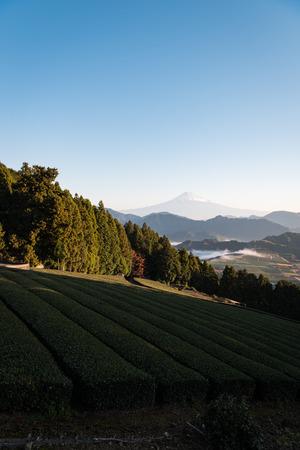 Mt. Fuji over Tea Fields