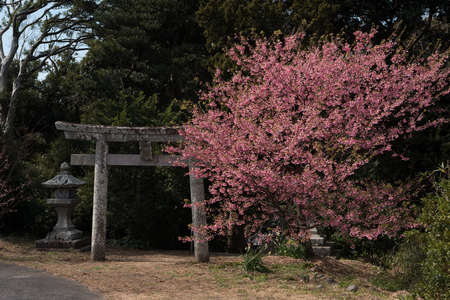 Tori Gate and Cherry Tree Stock Photo
