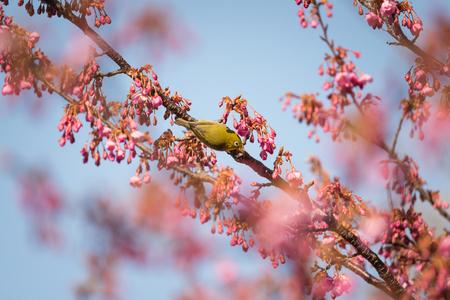 Japanese White-Eye Perching on a Cherry Tree Stock fotó
