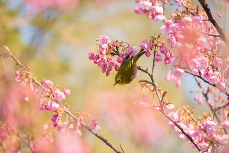 Japanese White-Eye Perching on a Toi Sakura Cherry Tree
