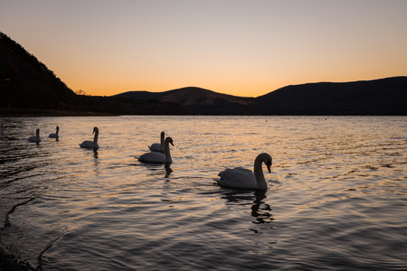Swans Floating on a Lake at sunset
