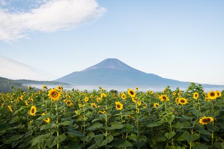 Mt. Fuji and Sunflowers