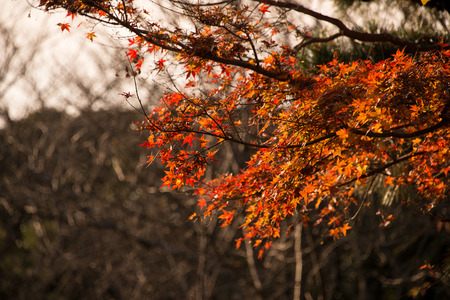 Maple Leaves in Red