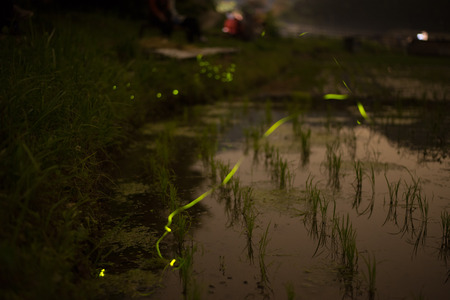 Fire Flies Hovering over a Rice Field