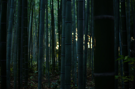 Bamboo Grove in the Morning