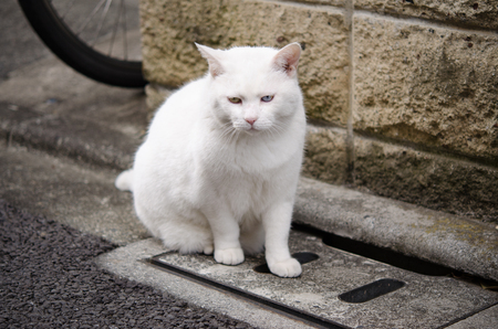 White Cat with Yellow and Blue Eyes Sitting on the Lid of the Gutter