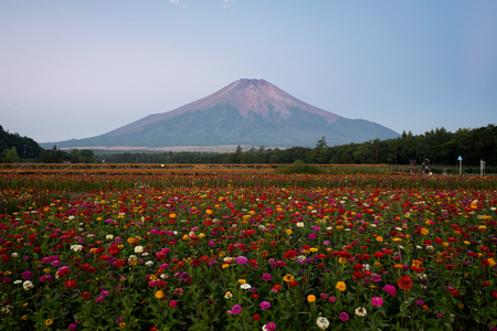 Mt. Fuji over Zinnia Flowers in Summer Banque d'images
