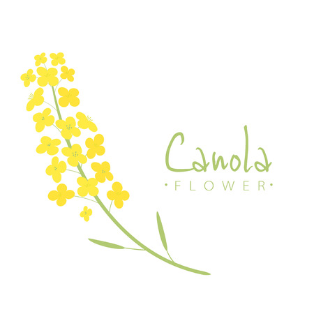 Vector canola flowers illustration  イラスト・ベクター素材