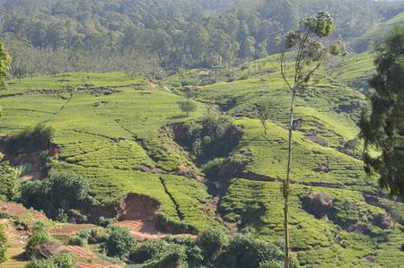estate: Tea Estate