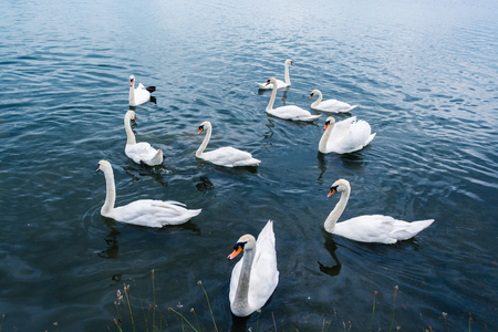 populate: A group of swans in beautiful water of UK lake in summer Stock Photo
