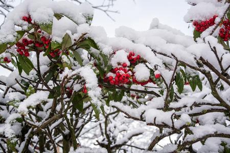Snow on red berry bush in UK Winter in Milton Keynes 5