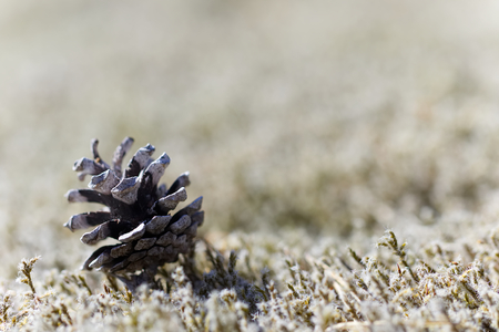 Pinecone on moss. Narrow depth of field. Blurry withe moss background