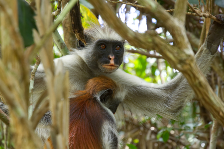 monkies: Two red colobus monkies in Jozani forest national park, Zanzibar, Tanzania