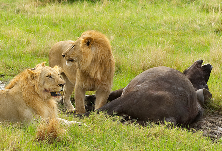 Tow male lions hunting down an old buffalo male in Masai Mara national park in Kenya,