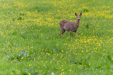 Venison walking around in the grass and eating. Shot during spring when vension is changing from winter to summer furl.