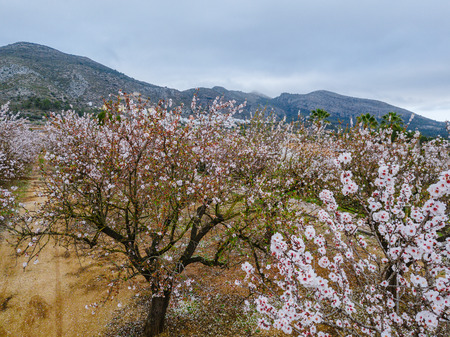 Almond blossom in the province of Alicante in February 2018. Spain