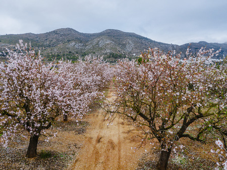 Almond blossom in the province of Alicante in  Spain