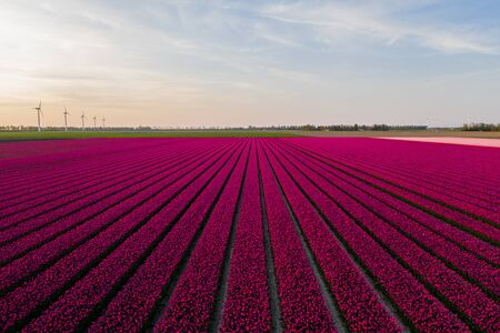 Aerial view of tulip planted fields in the Dronten area. Spring in the Netherlands.
