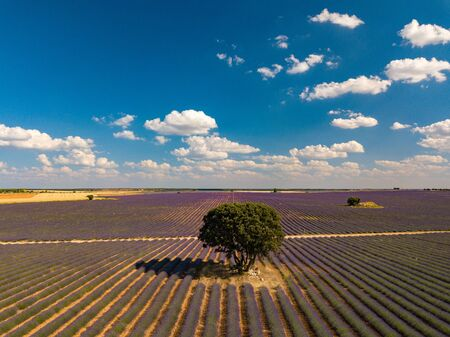 Aerial view of lavender fields and lonely standing trees during sunset near Brihuega. Spain in the summer.