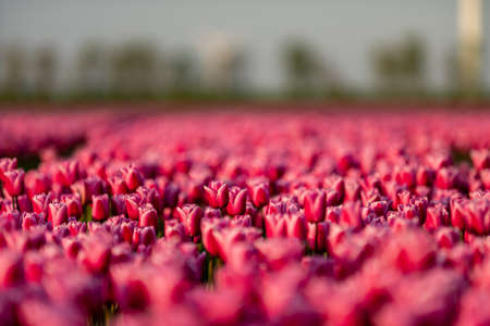 Blooming tulip field in North Holland, the Netherlands