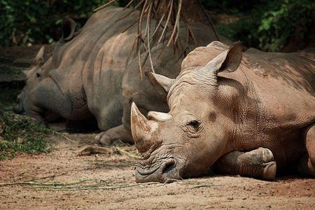 Exhausted Rhino photo