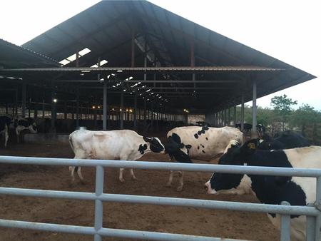 milker: Local Cow Farm Stock Photo