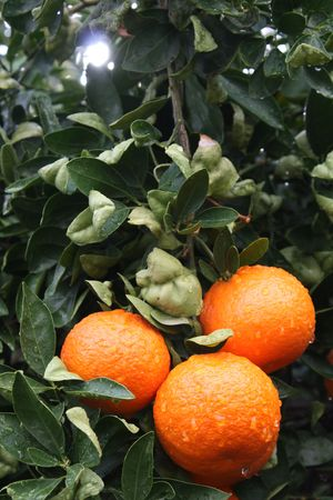 mickey: Hidden Mickey in Citrus Tree Stock Photo