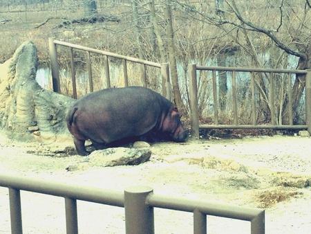 Hippo au KC zoo Banque d'images - 26925928
