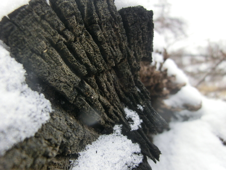 The exposed end of a fallen tree in the snow with snow covering it. Stock Photo