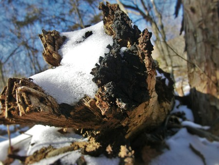 fallen tree: Fallen tree covered in snow with the end burnt by fire.