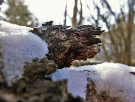 Fallen tree with snow on the exposed grain.