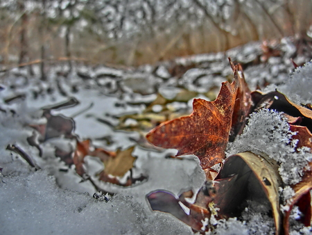 Colorful leaf veins in focus while being half covered in snow.