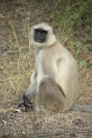 semnopithecus: Grey, Common or Hanuman Lengur, Bandhavgarh National Park, India