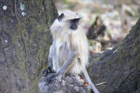 semnopithecus: Grey Common or Hanuman Lengur Bandhavgarh National Park India