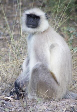 semnopithecus: Grey Langur in Indias Bandhavgarh National Park