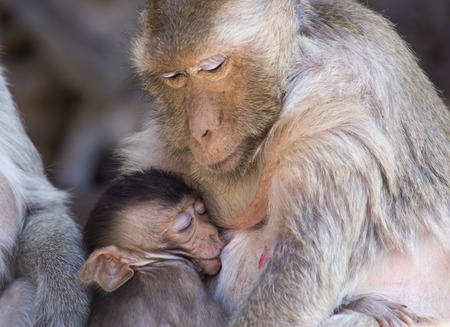 motherly: Crab eating macaque and baby in Thailand