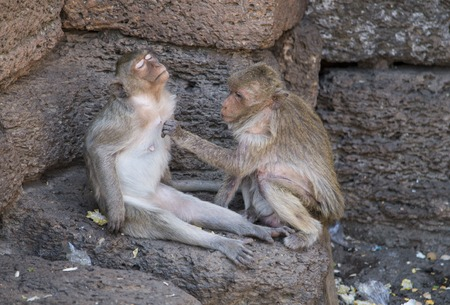 motherly: Crab eating Macaques grooming in Lopburi, Thailand Stock Photo
