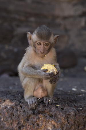 motherly: Young Crab Eating Macaque at Lopburi, Thailand Stock Photo