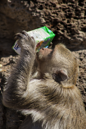motherly: Crab Eating Macaque drinking from packet in Lopburi