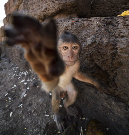 motherly: Young Crab Eating Macaque reaching for camera, Lopburi