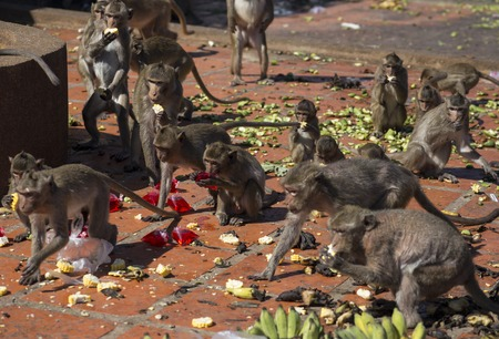 motherly: Crab-eating Macaques scrabble for food put out at  the Khmer temple for them at Lopburi, Thailand