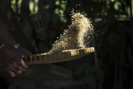 winnowing: Winnowing rice by hand by thowing it to separate it frrom the husk Stock Photo