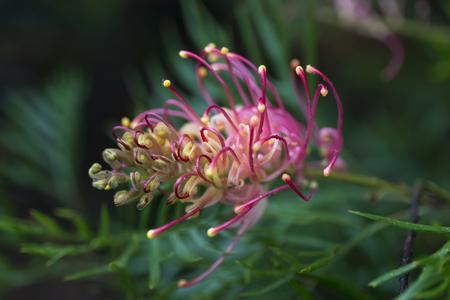 superb: Australian Grevillea Superb flower Stock Photo