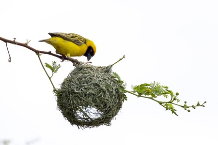 Southern Masked Weaver Bird building nest Stock Photo