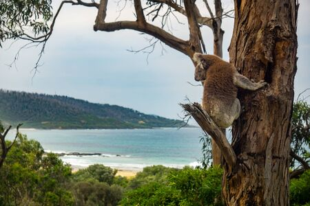 A koala (Phascolarctos cinereus) looks over the rugged coastline along the Great Ocean Road at Kennett River near Lorne in Victoria, Australia