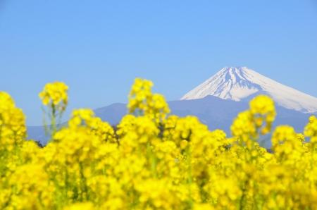 Fleurs de viol et Mt Fuji Banque d'images