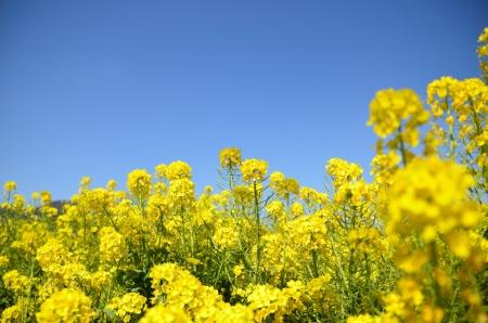 Rape blossoms